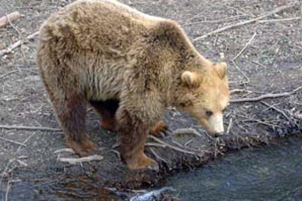 Z druhého grúňa už možno na medveďa mieri poľovník.