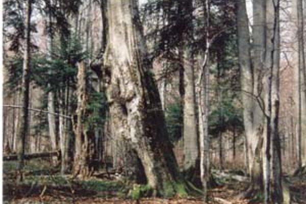 Prales Stužica v Národnom parku Poloniny je časťou jedľovo–bukových pralesov, ktoréUNESCOvčera pripísalo do zoznamu svetového prírodného dedičstva. Takéto lesy