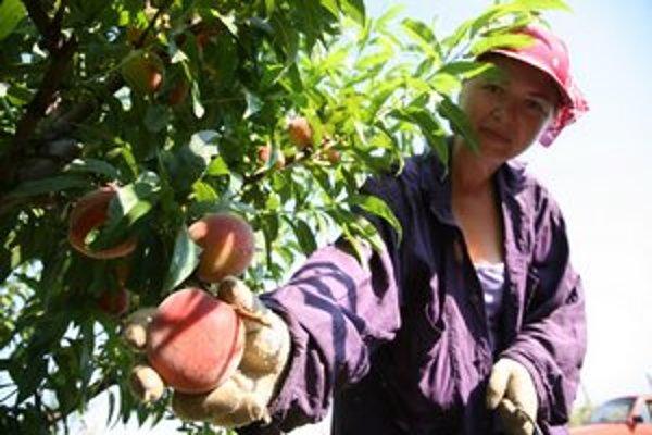 Bude v našich sadoch dosť ovocia?