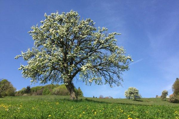 V súťaži Európsky strom roka obsadila naposledy tretie miesto dvestoročná Ružová hruška z Bošáce - Zabudišovej.
