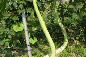 Pestovateľ. Plody indickej uhorky merajú viac ako meter a pol.