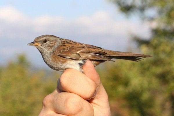 Vrchárka je drobný vták podobný štíhlemu vrabcovi.