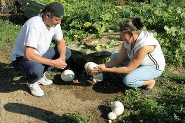 Vatovce rastú u Bolfíkovcov na dvore.