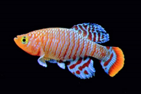 Ryba z rodu Nothobranchius kam patrí aj kaprozúbka furzerova