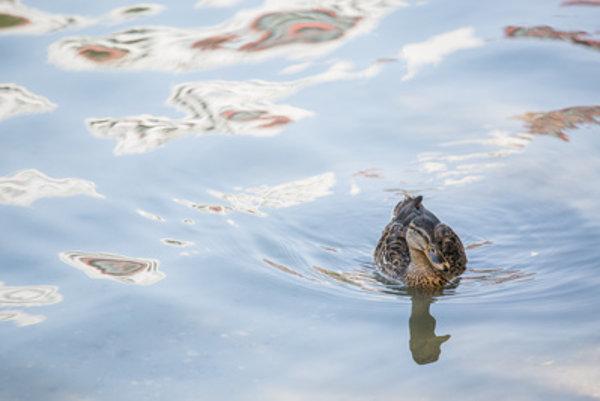 Prírodné kúpalisko Kuchajda mohli znečistiť aj kačice.