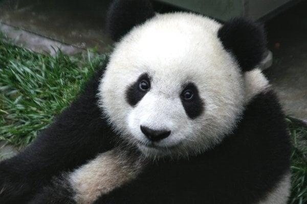 Panda veľká / Ailuropoda melanoleuca