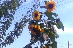 Slnečnica sa týči ponad záhradku v Bojniciach, meria cez tri metre.