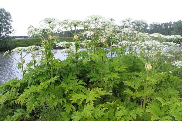 Boľševník obrovský patrí k najnebezpečnejším inváznym rastlinám.