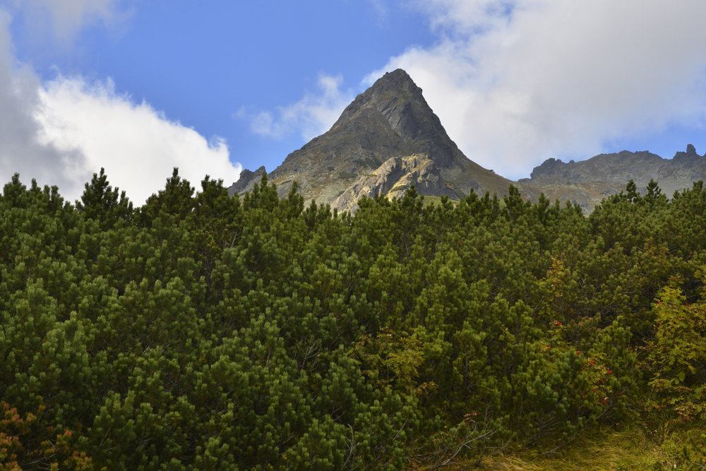 Nad porastom kosodreviny je v pozadí Mengusovský Volovec.