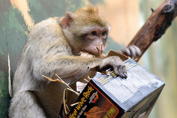 Makak magot v košickej zoo.