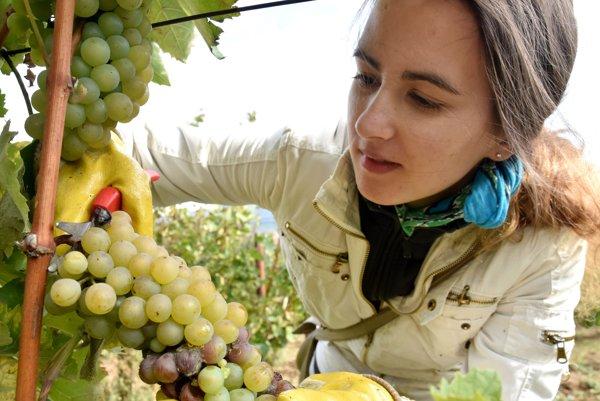 Napriek mrazom má úroda, ktorá ostala vo viniciach, dobrú kvalitu.