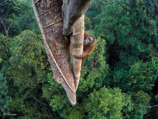 Orangutan šplhá nad korunami stromov tropického pralesa, aby si pochutnal na figách. Celkový víťaz súťaže. TIM LAMAN/WILDLIFE PHOTOGRAPHER OF THE YEAR 2016