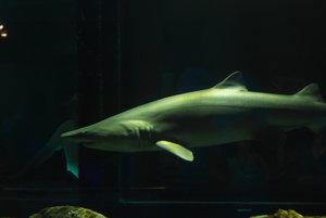 V AquaRio budú okrem tisícok iných živočíchov žiť aj asi štyri desiatky žralokov.  Ilustračné foto.