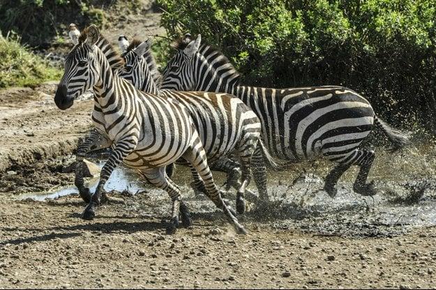 V Tanzánii je najväčšia koncentrácia a rôznorodosť divokej zveri Afriky.