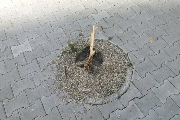Zničená oliva pred synagógou.