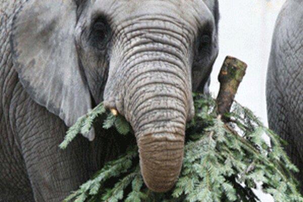 Ihličnaté stromy slonom chutia.