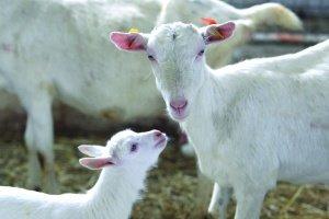 Kozie mlieko má liečivé účinky na množstvo chorôb, niektorí ľudia hovoria takmer o zázraku. Zvlášť výnimočné je materské mledzivo.