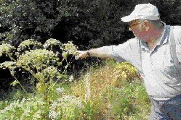 K rastlinám, ktoré môžu spôsobiť veľké problémy alergikom, patrí aj bylina boľševník veľkolepý, ktorého šťava obsahuje toxické látky. ILUSTRAČNÉ