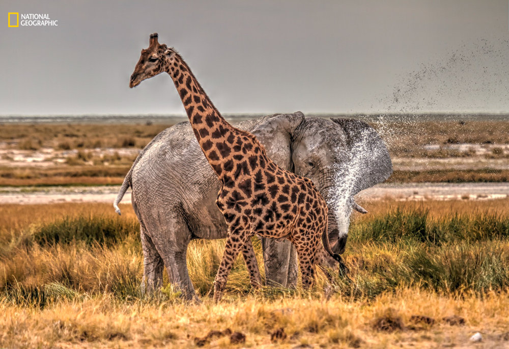 SLONÍ ŽART. Sledovanie zvierat v národnom namíbijskom parku. Cezary Filew/2016 National Geographic Nature Photographer of the Year