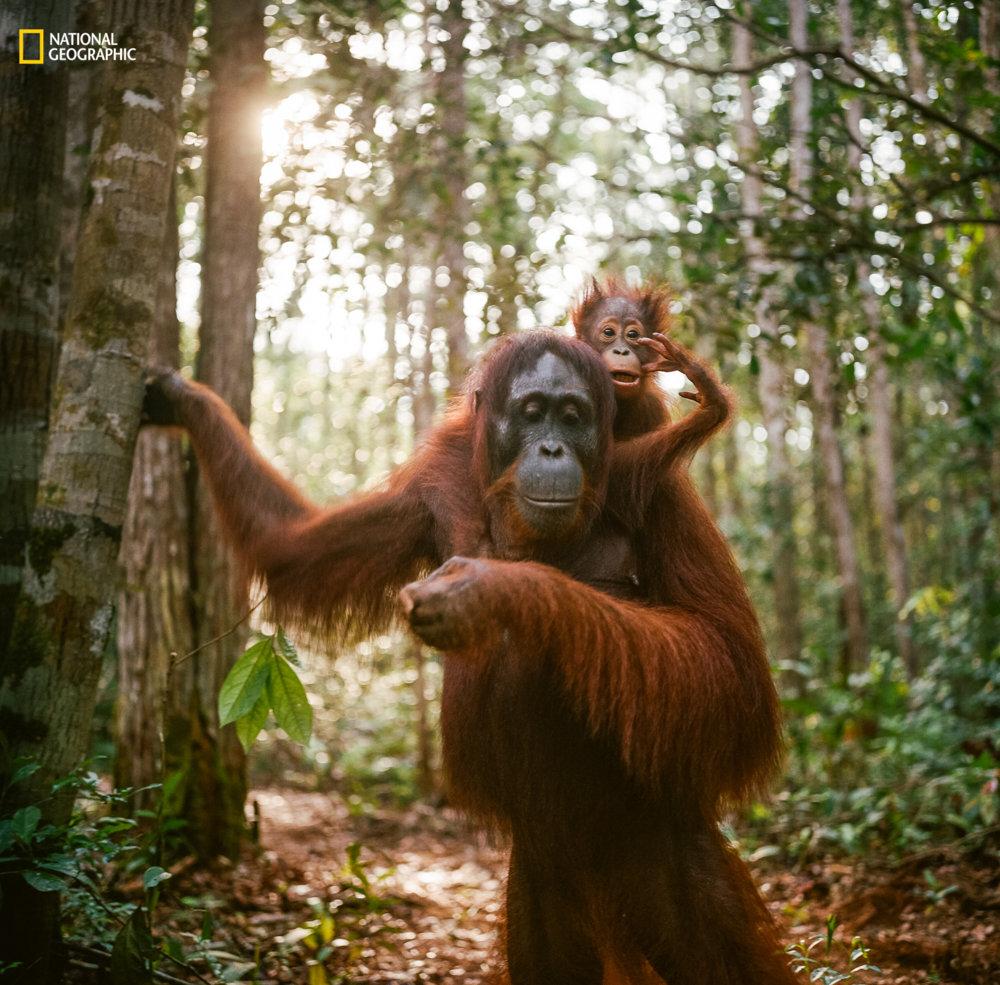 ORANGUTANIA MATKA S DIEŤATOM. V lese národného parku v Borneu sa podarilo fotografovi zachytiť orangutaniu matku s dieťaťom. Jak Wonderly/2016 National Geographic Nature Photographer of the Year