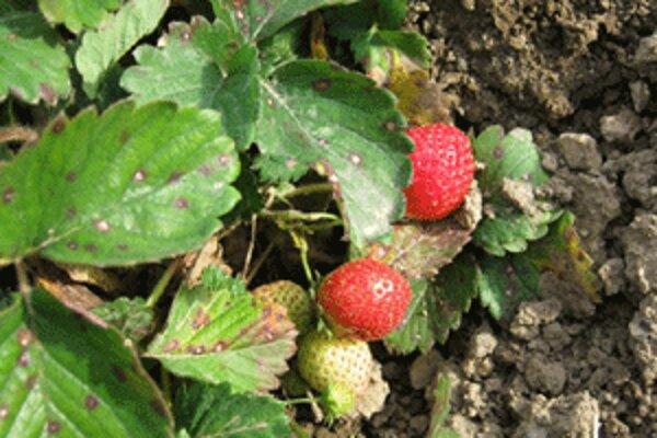 V Bojniciach dozrievajú jahody aj v novembri.
