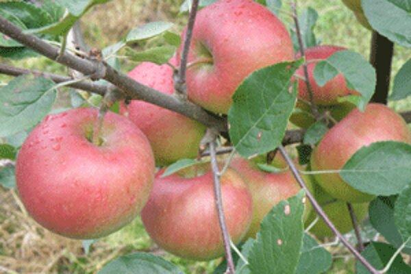 V záhrade Miloša Polcera dozreli najkrajšie jablká v regióne.