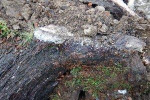 Zdá sa, že spadnutý smrek mal podpílené korene.