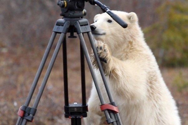 Turisti do Churchillu prichádzajú najmä loviť atraktívne zábery s bielymi medveďmi. Dokumentárny seriál Mesto polárnych medveďov ukazuje aké situácie stretnutia človeka s medveďom prinášajú.