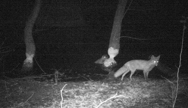 Líška a bobor na zábere z fotopasce.