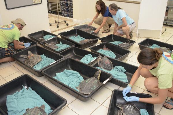 Korytnačky dostali v studenej vode zápal pľúc.