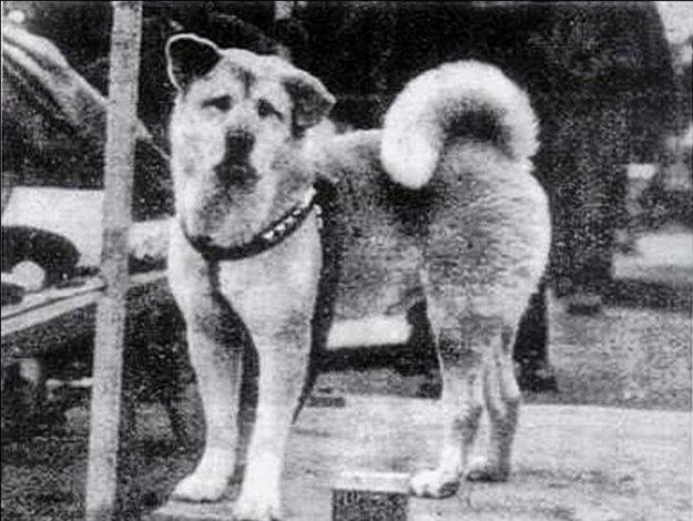 Japonský Hačikó. Jeho príbeh dojal milióny ľudí.