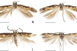Exempláre Neopalpi donaldtrumpi, podľa ktorých opísali nový druh.