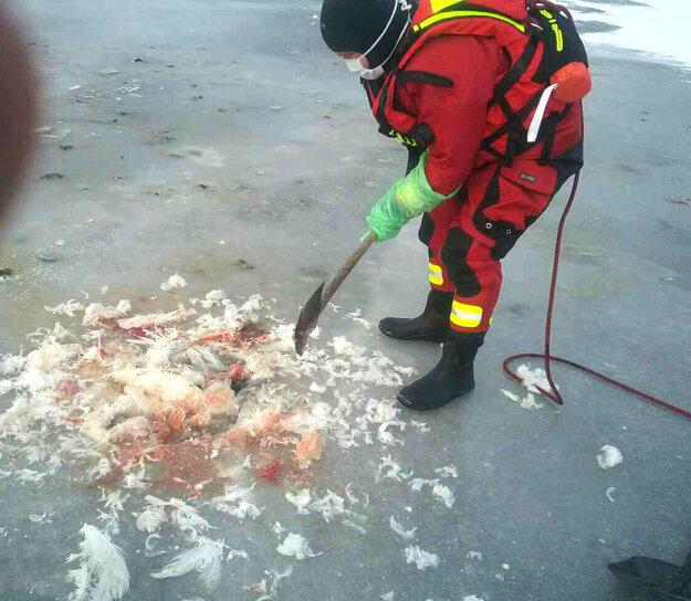 Vyslobodzovanie zmrznutých labutí