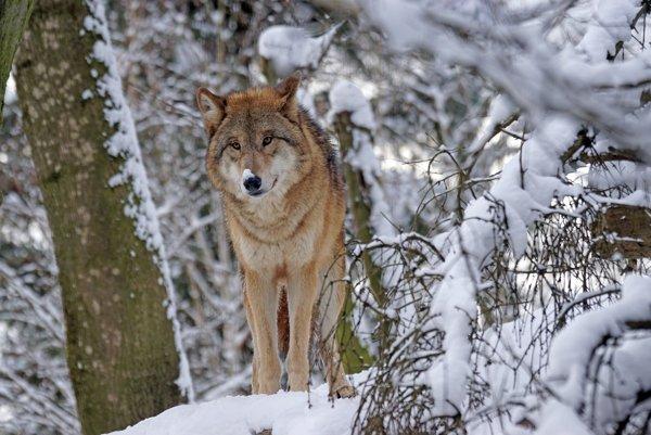 Vlky útočili v Tatrách.