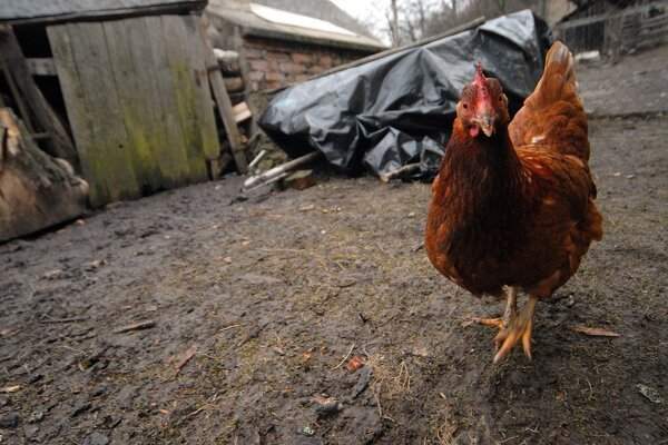 Obozretní musia byť pre vtáčiu chrípku aj malí chovatelia.