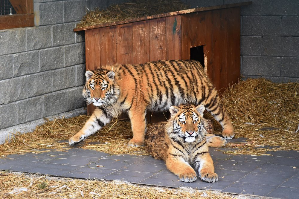 Na snímke párik tigrov usurijských vo výbehu.