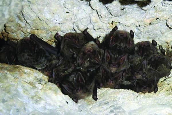 Zimujúca kolónia uchaní čiernych.