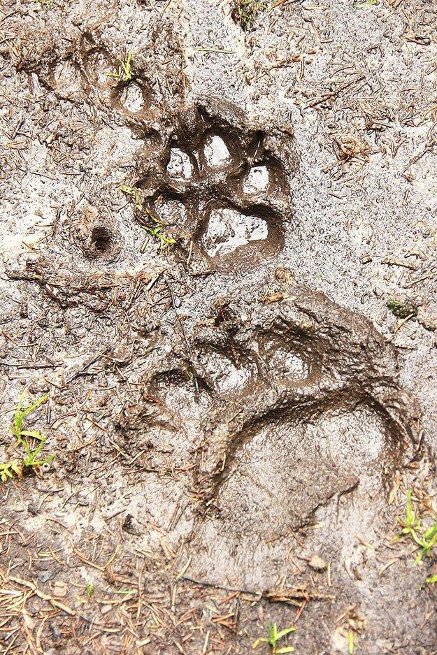 Spoločná stopa medveďa a vlka.