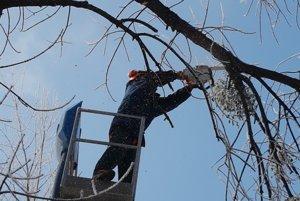 Imelo musí ísť preč. Správa mestskej zelene zbavuje stromy rastlinných parazitov.