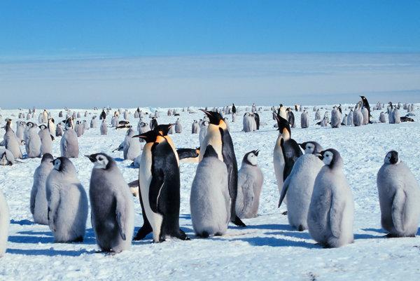 Kolónia tučniakov obrovských, ktoré sa volajú aj tučniaky cisárske.