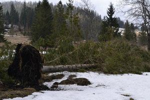 Vyvrátený strom.