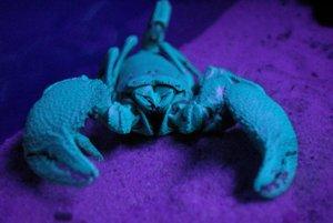 Pri normálnom svetle je tento škorpión čierny. Pod ultrafialovým svetlom sa javí slabo modrý.