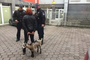 Mestskí policajti museli riešiť prípad priviazanej kozy.
