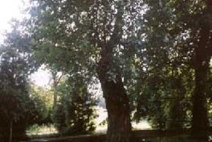 Chránená moruša v Tibave. Prežije strom orez?