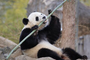 Panda veľká je neoficiálnym maskotom Číny.