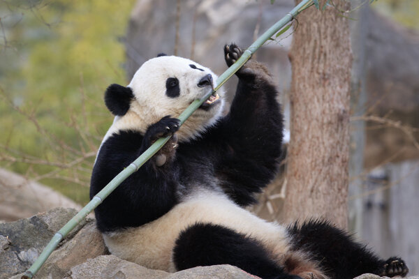 Vo francúzskej zoo sa narodili pandie dvojičky
