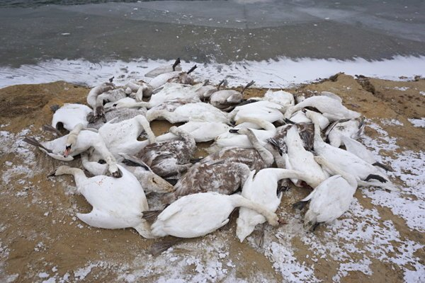 Na štrkovisku Vysoká pri Morave uhynulo približne 150 labutí FOTO: R. Jureček