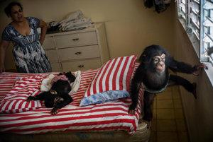 Marta Llanesová dáva pozor na šimpanzie mláďa Adu (napravo), zatiaľ čo Anuma II spí na posteli.