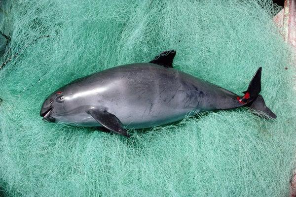 Mŕtva sviňucha kalifornská, ktorá sa zaplietla do rybárskej siete.