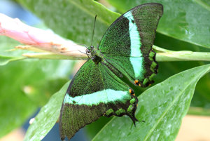 Motýľ papilio palinurus.